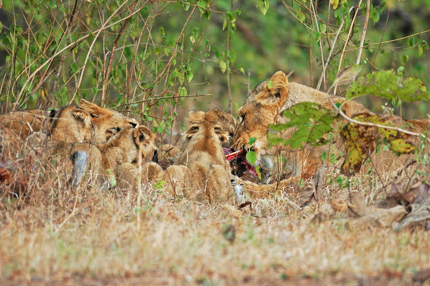 Gir is 60 kms from Junagarh and 360 kms from Amdavad. One can take a train from Amdavad to Jungarh or Rajkot and then hire a car. Lions with pubs.