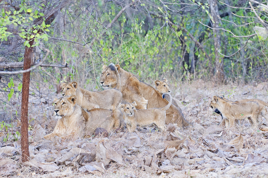 A group of lions with their pubs. For more information, contact the Forest Dept. at Sasan Gir, Tel: 02877 285541.