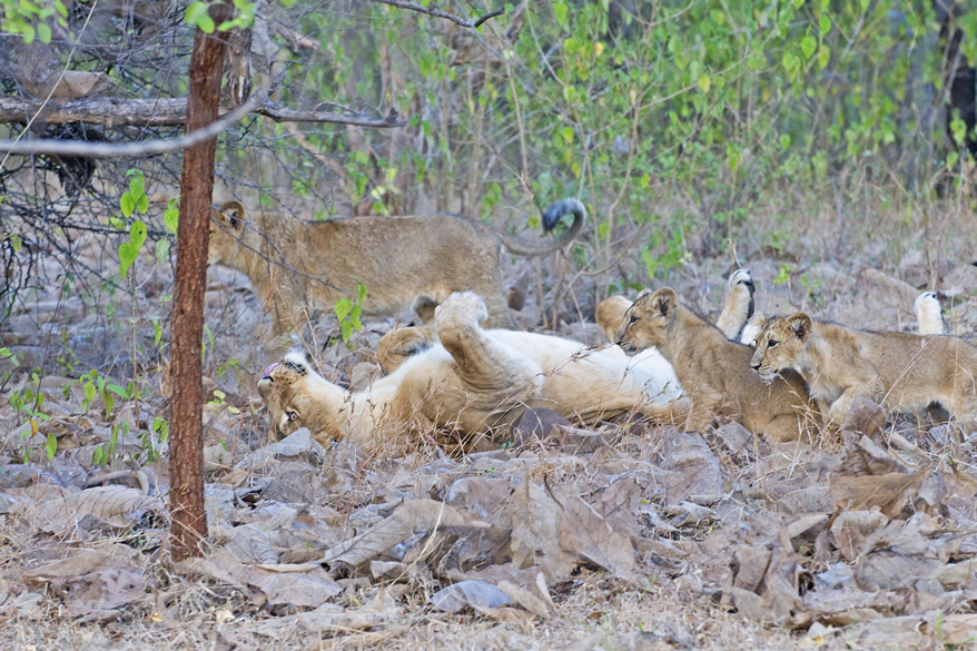 Gir is well known for the Asiatic Lions. Asiatic Lion is one of the seven sub-species of lions on this planet. Its scientific name is `Panthera Leo Persica`. You see lion in the centre with back on the ground.