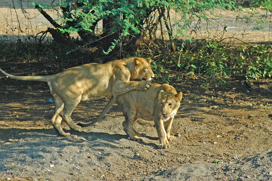The best period to visit the Gir Sanctuary is between the months of November and June.