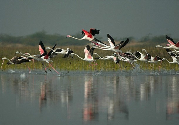Flamingoes at Nal Sarovar which Gandhi believes are the waters of the Saraswati.