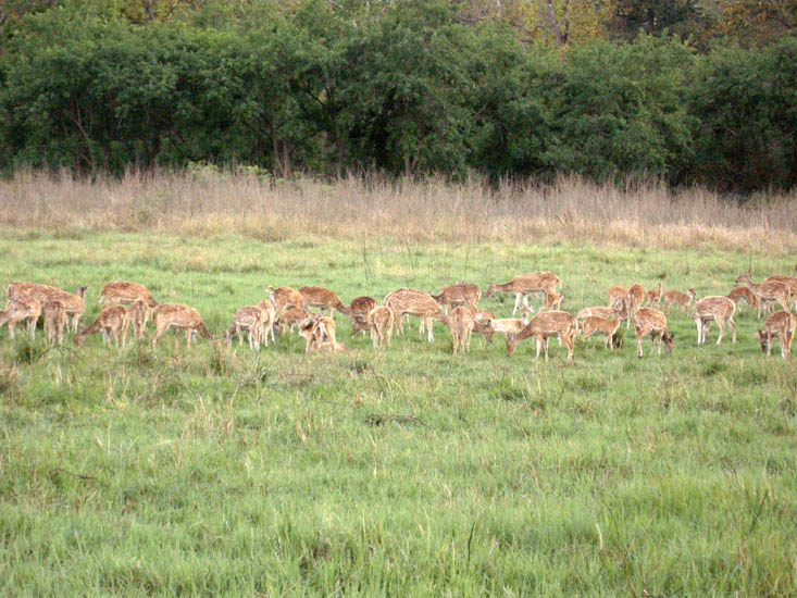 A herd of spotted deer spotted grazing at Dhikala