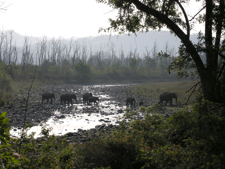 Tuskers with their families on early morning sojourn on the Ramganga