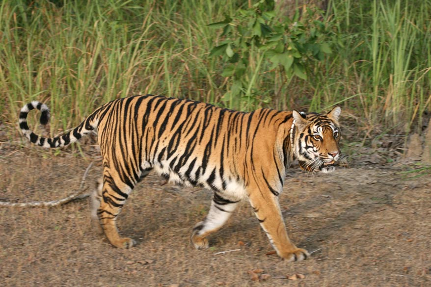 Fly into Nagpur from where Kanha is 260 kms (or 160 kms from Jabalpur), located in the Satpura-Maikal range. It is one of India`s best known national parks. There is a seminal study on the behaviour of the tiger by George Schaller called the `Deer and the Tiger` which was conducted at Kanha - one of the factors that brought Kanha into worldwide prominence. You see a tigress patrolling her territory just before sunset. She is fitted with a radiocollar`- by which the scientists track the movements of the tiger within the forest.