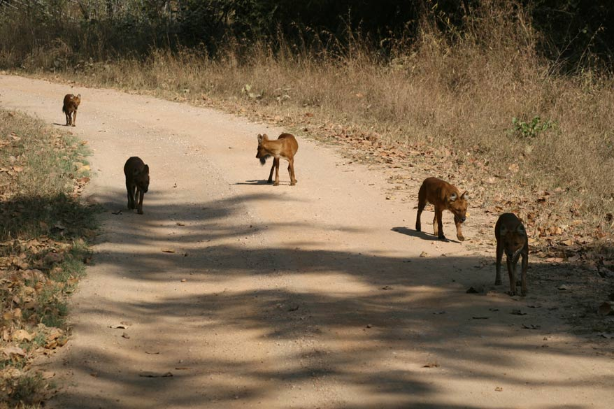 Pack of wild dogs (called Dhole) at Kanha, possibly the most feared hunter of the forests.