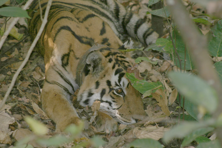 A Tigress resting near her kill in thick undergrowth.