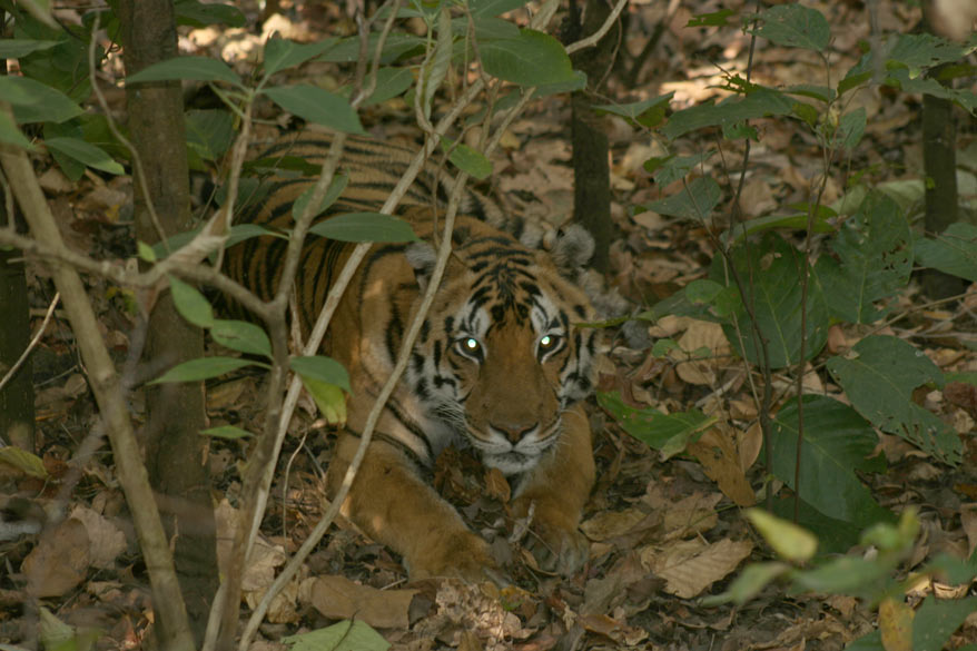 A Tigress relaxing amidst thick undergrowth. Her eyes are white because of the reflection of the camera-flash.