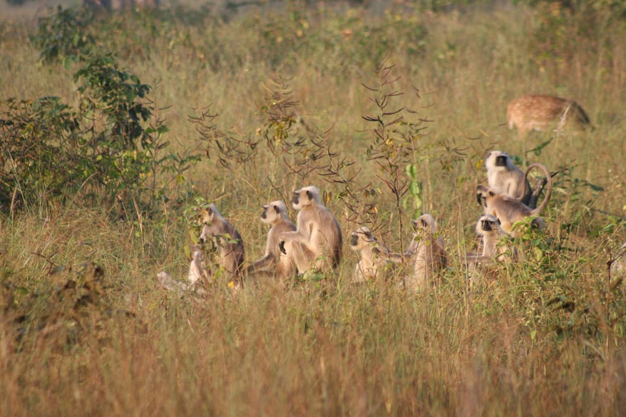 Family of langurs on a dead tree trunk. Park timings Oct. 1 - Feb. 15- Sunrise to 1200 hrs., 1500 hrs. to sunset, Feb 16 - Aprl.15 - Sunrise to 1200 hrs., 1600 hrs. to sunset, Apr. 16 - Jun. 30 - Sunrise to 1100 hrs., 1700 hrs. to sunset