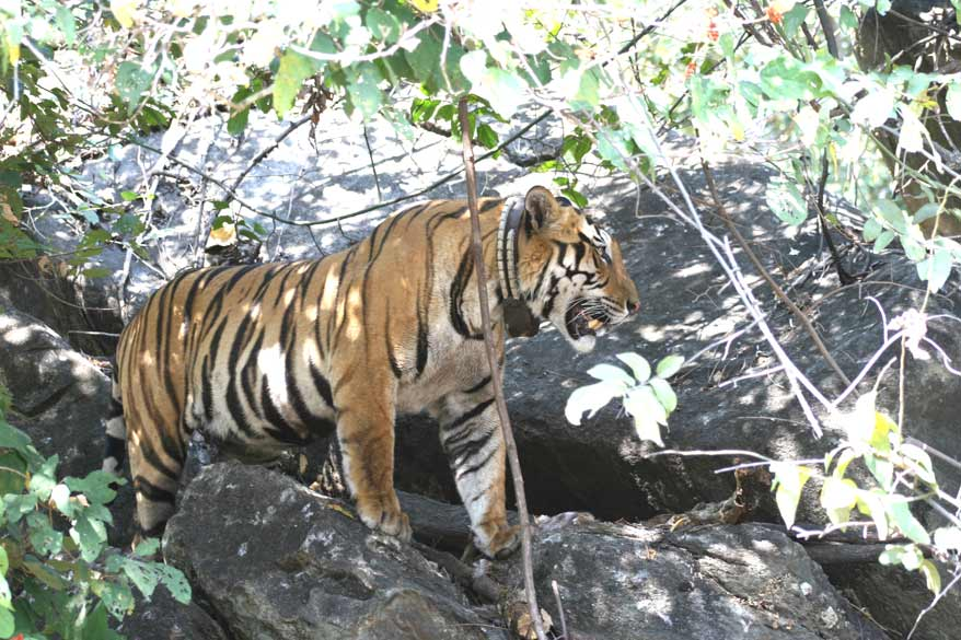 Large radio collared male standing over his kill (dead cheetal visible in the cleft between the rocks).