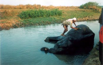 Bathing time for elephant at Kaziranga