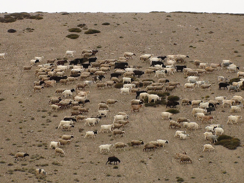 Mountain goats and sheep herd