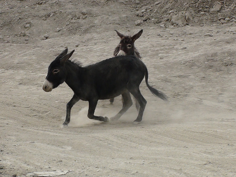 Two donkeys making an ass of themselves