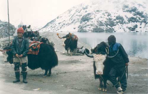 Yak Express- Brightly festooned Yaks-some silently suffering the indignity of having to wear woolen caps and horn covers-- and their drivers wait for tourists near the silvery waters of the sacred Tshangu lake, north-western Sikkim. Located 35 km from Gangtok and on the long winding road to Nathu La (the Tibet border), the lake is situated at altitude of 12,400 feet and freezes over in winters.