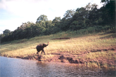 Elephant at Periyar lake
