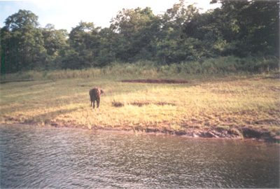 Baby elephant searching for its family - Periyar lake