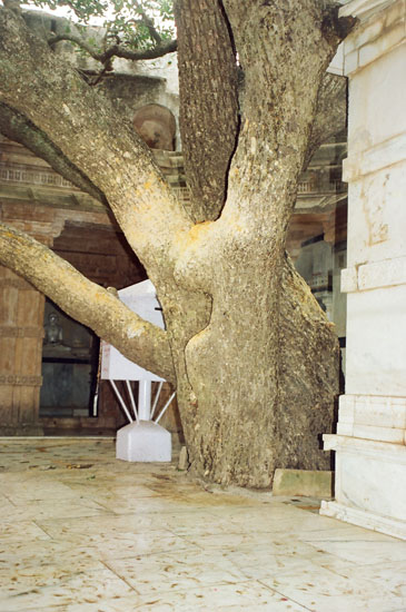 Holy Rayan tree where Adhinath`ji attained salvation.