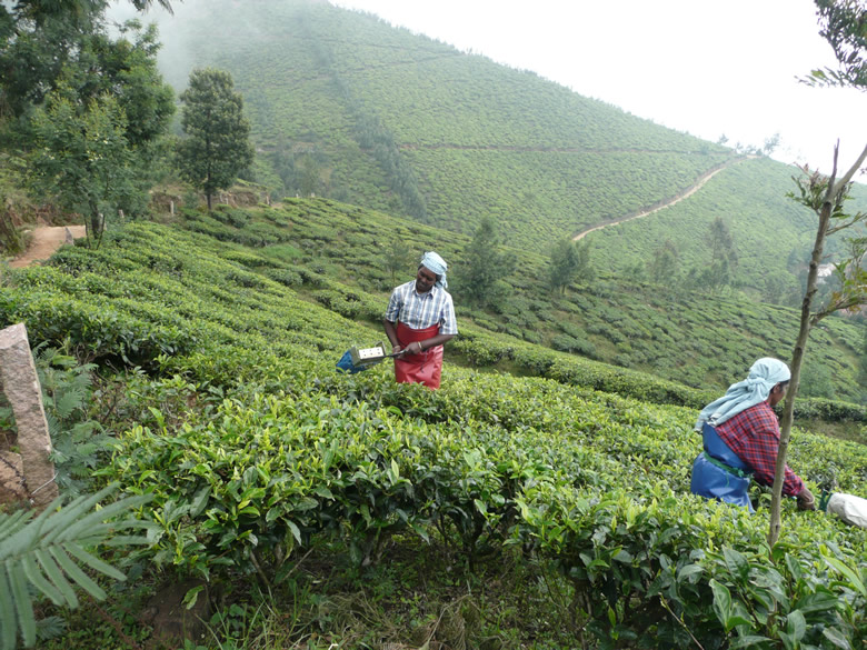 Workers plucking tea leaves from the tea plants which they will take to the tea factory for processing.