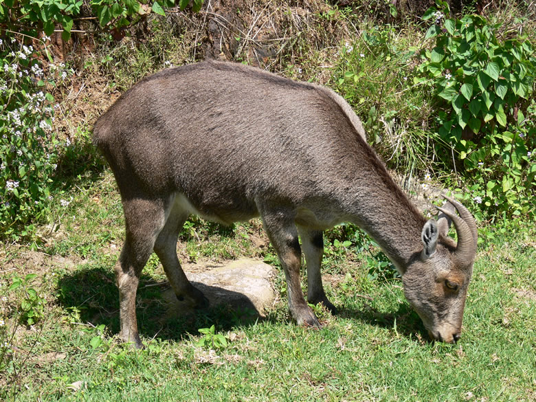 Nilgiri Tahr (a type of deer) at Eravikulam National Park. The park is 97sq kms and the Tahr is an endangered specie. The park is 13 kms from Munnar. The highest peak is Anamudi 2690m.