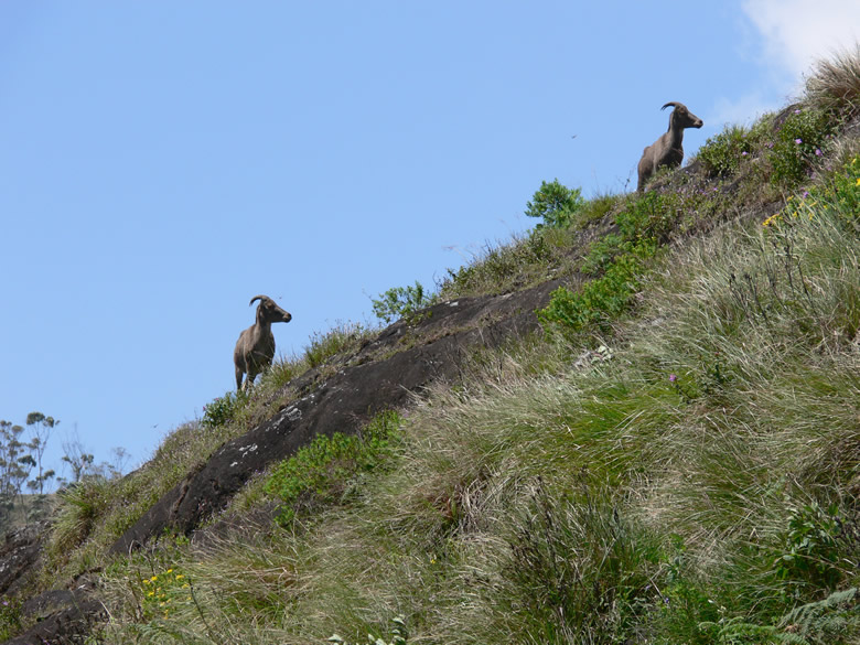 Nilgiri Tahr (a type of deer) at Eravikulam National Park. This time they are climbing up a hill.