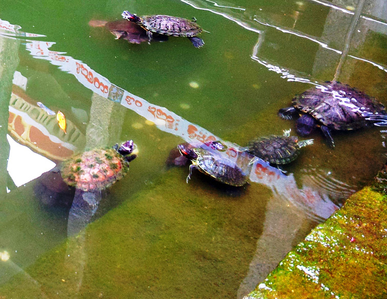 From 4-5 turtles initially, the pond now has about 15-20 adult water turtles, a few hatchlings and some fishes.