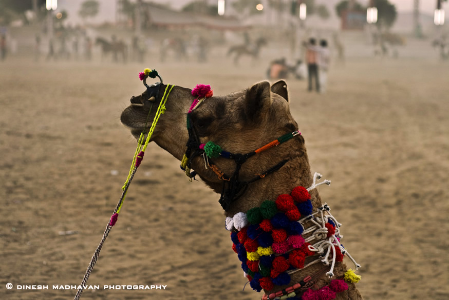A decorated camel at the camel fair. The Pushkar Fair is held at Karthik Purnima time. In 2009 the Purnima is on November 2.