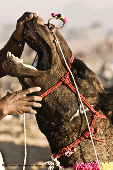 A camel getting checked by a prospective buyer.