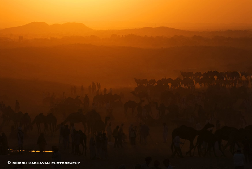 The camel trade happenning aginst the sunset.