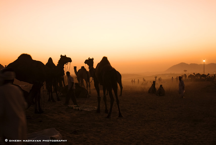 Camels and its owners at dusk.