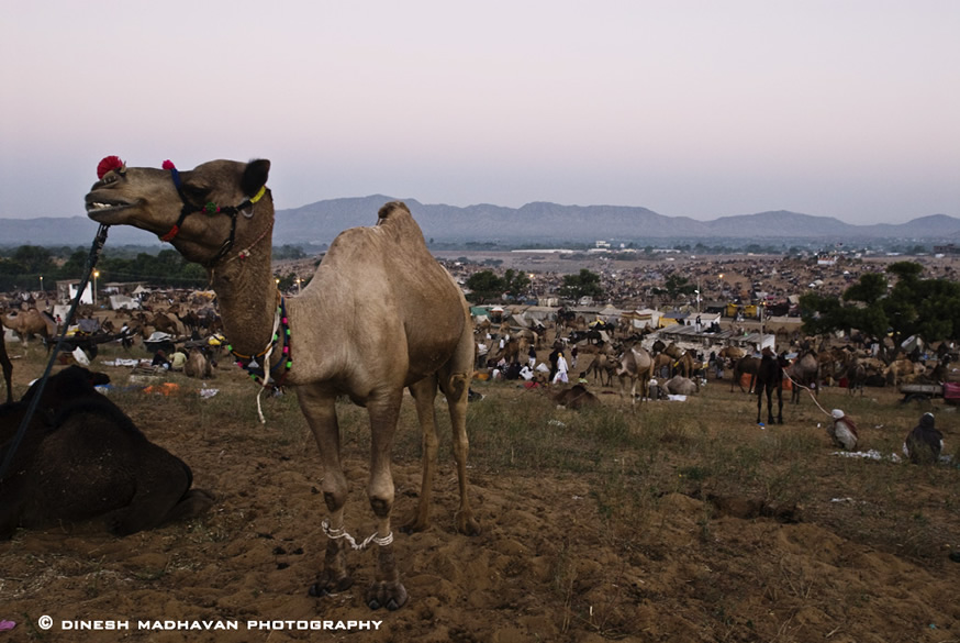 A camel waiting to be sold or bought at the fair ground. Pushkar has the world`s only Brahma Temple.