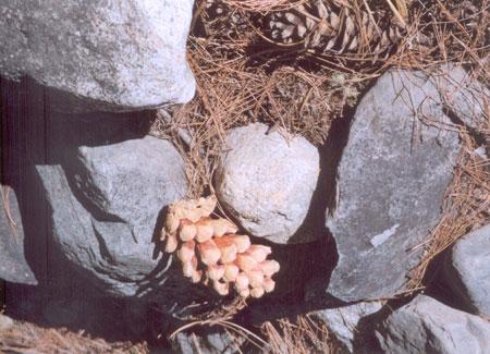 Fir acorns mingle with the rocks.