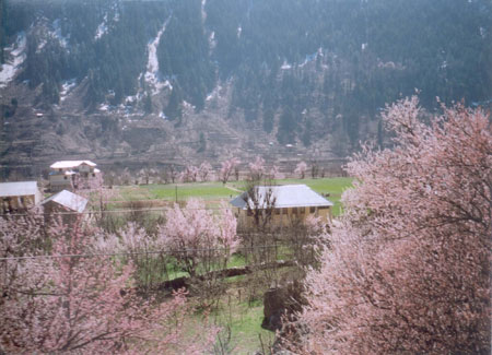 The valley of the Baspa is very fertile with chilgoza and plum in full bloom in early spring.