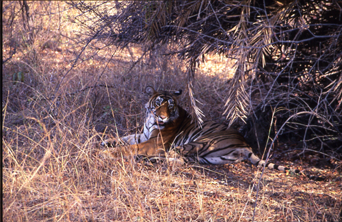 Another picture of a tiger enjoying solitude