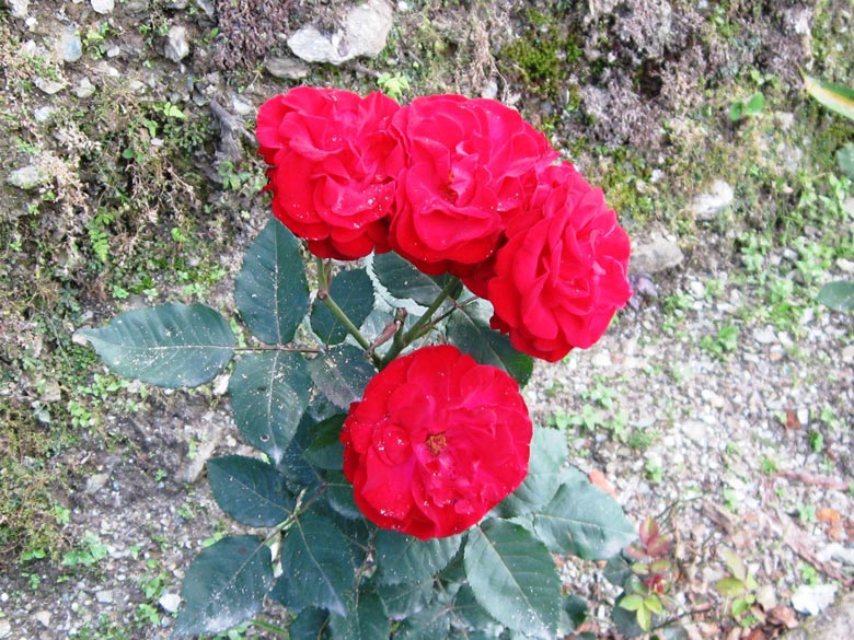 Red roses growing in the wild.