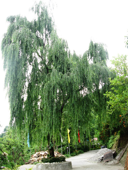 Saw this willow tree just around the corner, cricket bat``s are traditionally made from the trunks of these trees .