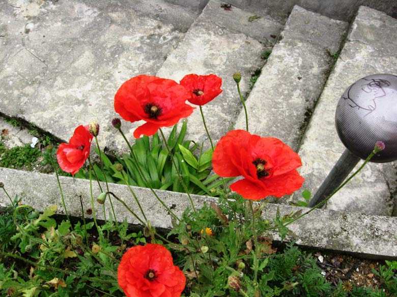 These red poppies grew on their own alongside the stone stairway at the back of the resort.