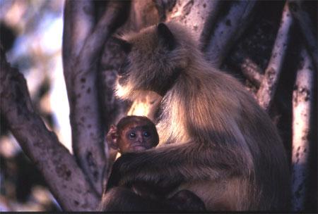 Langoor (monkey) with her babby.
