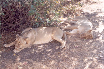 2 lions in a post lunch snooze. Tourists who want to take photographs are advised to do so before 9 a.m.
