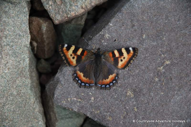 Butterfly at base camp, 16000 feet.