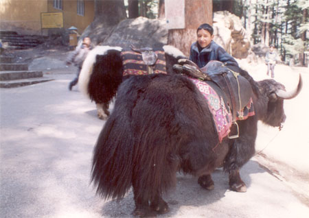 Outside the same temple. You see a Himachali boy. The bulls are used to ferry tourists, as a climb to the Hadimba mandir is quite steep. For trekkers it is a great walk through pine forests.