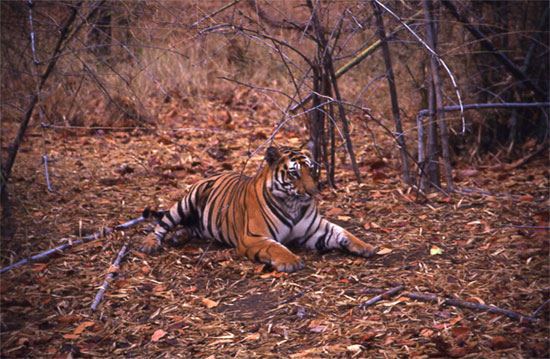 Amidst an environment that the tiger likes best, closest to nature.